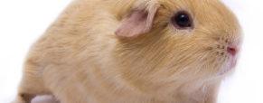 Jak brać na ręce świnkę morską?