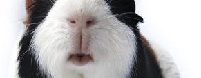 Ratunku! Moja świnka jest za gruba!