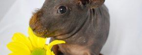 Świnka morska skinny – opis, hodowla, pielęgnacja i opieka