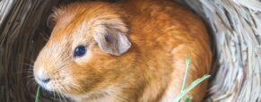 Akcesoria dla świnki morskiej – zobacz, co musisz kupić
